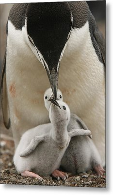 Chinstrap Penguin Feeding Two Chicks Metal Print by Maria Stenzel