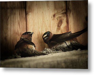 Cliff Swallows 3 Metal Print by Scott Hovind