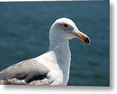Close Seagull Metal Print by Wendi Matson