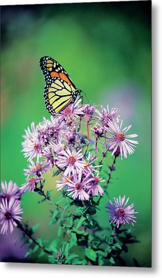 Close-up Of A Monarch Butterfly (danaus Plexippus ) On A Perennial Aster Metal Print by Medioimages/Photodisc