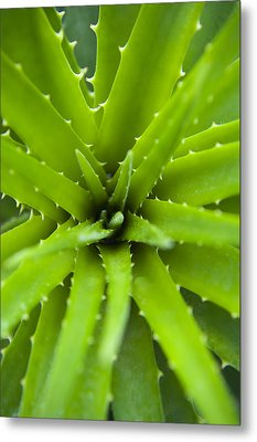 Close-up Of Aloe Plant, Atlantic Forest, Ilha Do Mel, Parana, Brazil Metal Print by Chris Hendrickson