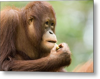 Close-up Of An Orangutan Pongo Pygmaeus Metal Print by Tim Laman