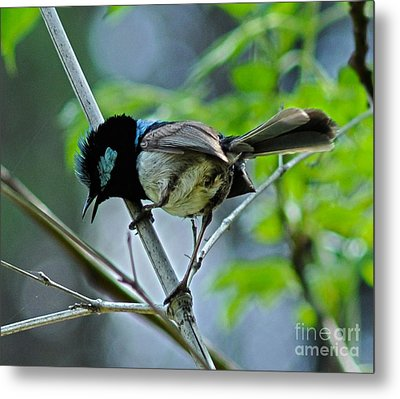 close up of Superb Fairy-wren Metal Print by Joanne Kocwin