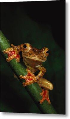 Close View Of A Harlequin Tree Frog Metal Print by Tim Laman