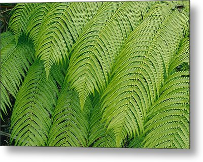 Close View Of Tree Ferns Cibotium Metal Print by Marc Moritsch