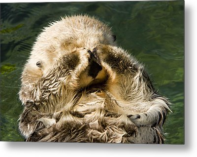 Closeup Of A Captive Sea Otter Covering Metal Print by Tim Laman