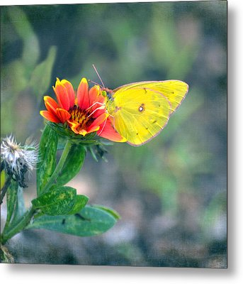 Clouded Sulphur Butterfly Square Metal Print by Sandi OReilly