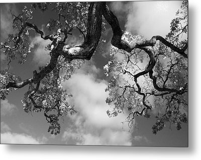 Cloudy Oak Metal Print by Laurie Search