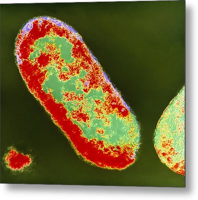 Coloured Tem Of Shigella Sp. Bacteria Metal Print by London School Of Hygiene & Tropical Medicine