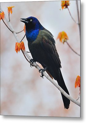 Common Grackle Metal Print by Tony Beck