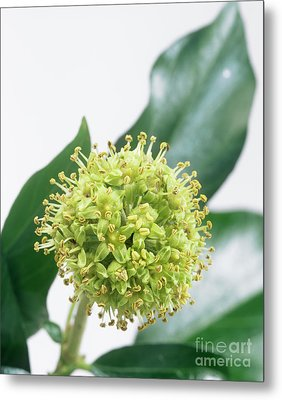 Common Ivy (hedera Helix) Flower Head Metal Print by Sheila Terry
