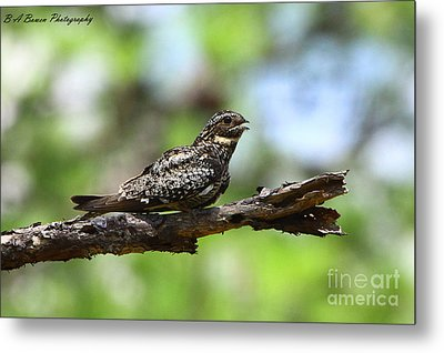 Common Night Hawk Metal Print by Barbara Bowen