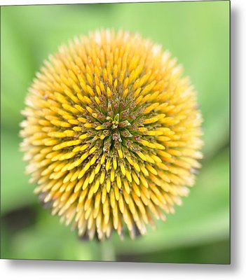 Coneflower Metal Print by Photo by Ted Bobosh