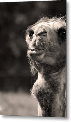 Connoisseur Of Fine Humps Metal Print by Barbara  White