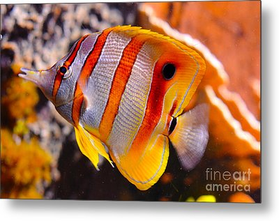 Copperband Butterfly Fish Metal Print by Pravine Chester
