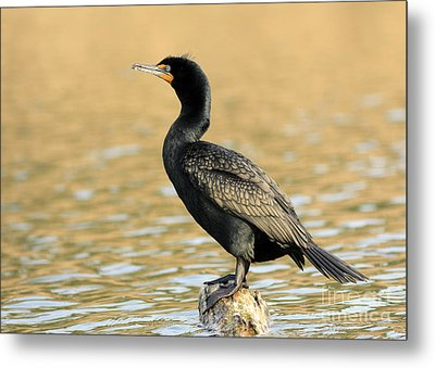 Cormorant At Sunset Metal Print by Inspired Nature Photography Fine Art Photography