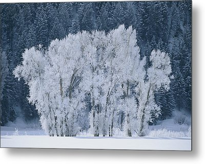 Cottonwood Trees With Frost Metal Print by Skip Brown