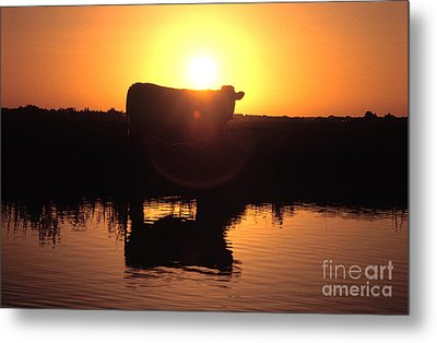 Cow At Sundown Metal Print by Picture Partners and Photo Researchers