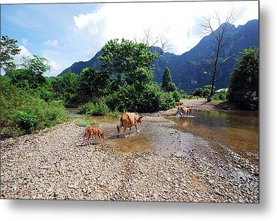 Cows Crossing River In Vietnam Metal Print by Thepurpledoor