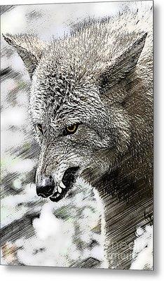 Coyote Snarling Metal Print by Dan Friend