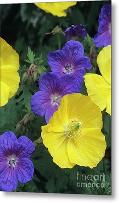 Cranesbill And Iceland Poppy Flowers Metal Print by Archie Young