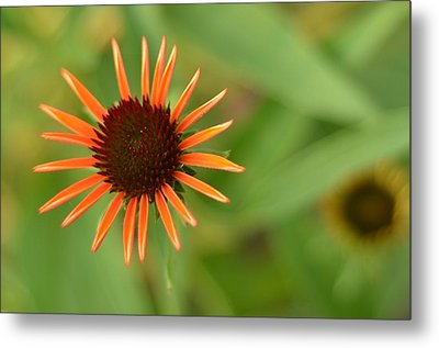 Crazy Coneflower Patch Metal Print by Maria Suhr