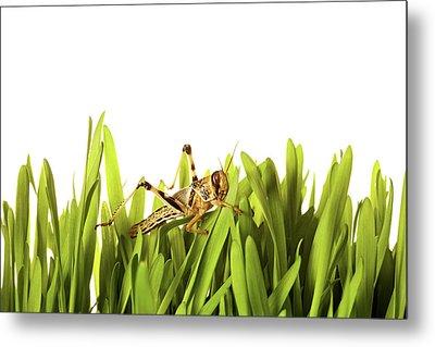 Cricket In Wheat Grass Metal Print by Pascal Preti