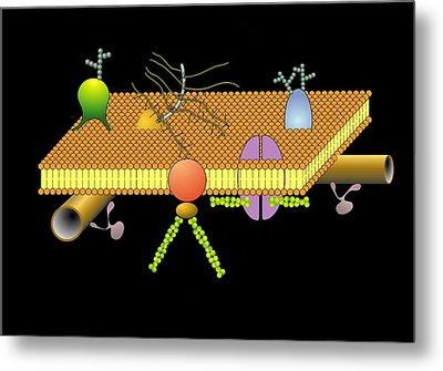 Cytoskeleton And Membrane, Artwork Metal Print by Francis Leroy, Biocosmos