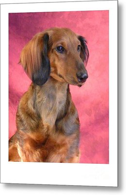 Dachshund 472 Metal Print by Larry Matthews