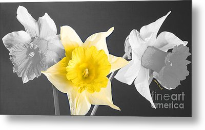 Daffodil Trio  Metal Print by Cheryl Young