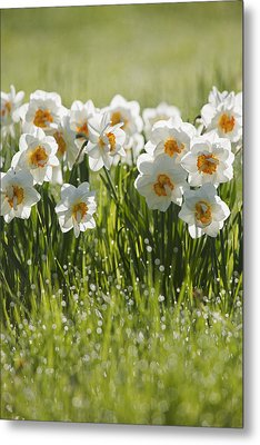 Daffodils In The Dew Covered Grass Metal Print by Susan Dykstra