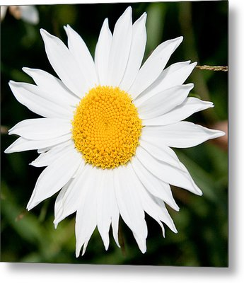 Daisy Face Metal Print by Christopher McPhail
