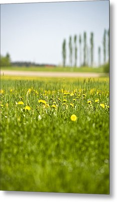 Dandelions Growing In Meadow Metal Print by Stock4b-rf