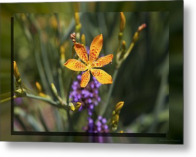 Day Lilly 46 Metal Print by Charles Warren