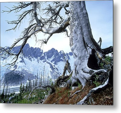 Dead Spruce In Old Forest Fire, Nabob Metal Print by David Nunuk