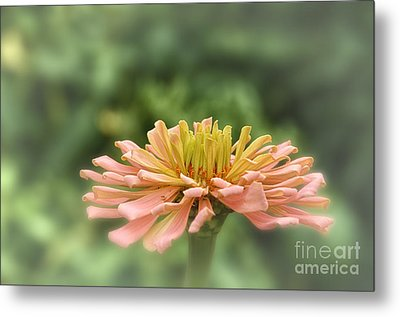 Delicate Pedals Metal Print by Tamera James
