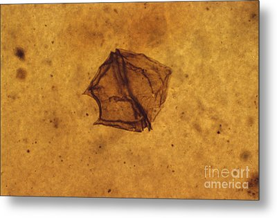 Dinoflagellate Fossil Metal Print by Eric V. Grave