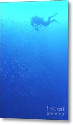 Diver By School Of Pelican Barracudas Metal Print by Sami Sarkis