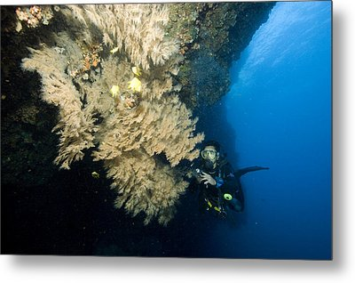 Diver Next To A Coral Fan Sheltering Metal Print by Tim Laman