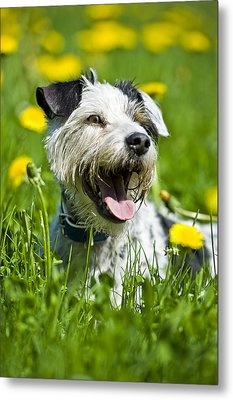 Dog Lying In Meadow Metal Print by Stock4b-rf