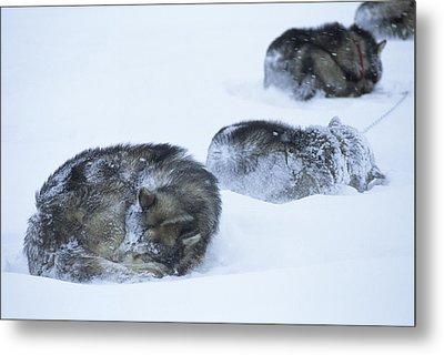 Dogs Sleep In Blizzard On Frozen Ocean Metal Print by Gordon Wiltsie