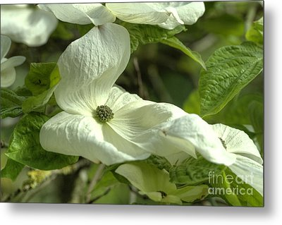 Dogwood Metal Print by Rod Wiens