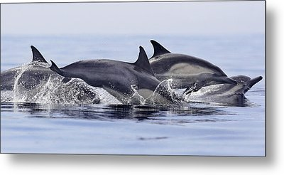 Dolphins At Play Metal Print by Steve Munch