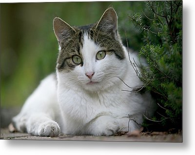 Domestic Cat Felis Catus Portrait Metal Print by Cyril Ruoso