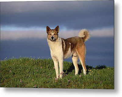 Domestic Dog Canis Familiaris, Taymyr Metal Print by Konrad Wothe
