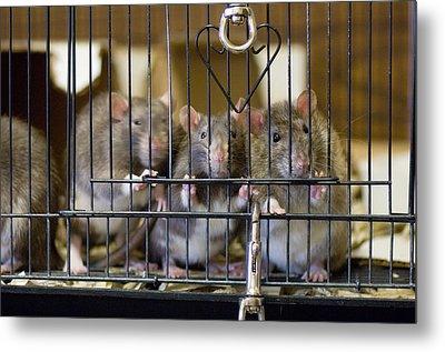 Domestic Rats At The Sutton Avian Metal Print by Joel Sartore