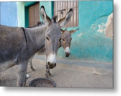 Donkeys, Harar, Ethiopia, Africa Metal Print by David DuChemin