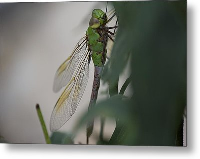 Dragonfly Metal Print by Michel DesRoches