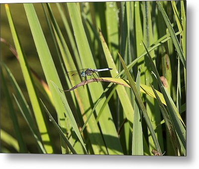 Dragonfly Metal Print by Ron Sgrignuoli
