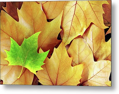Dry Fall Leaves Metal Print by Carlos Caetano
